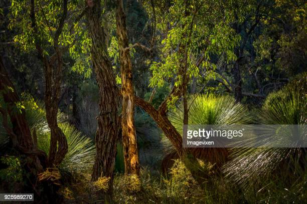bushland with grass trees, perth, western australia, australia - perth australia stock pictures, royalty-free photos & images