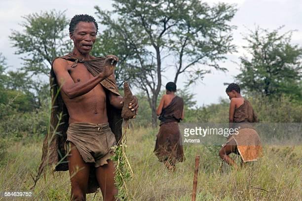 Bushman gathering roots in the Kalahari desert near Ghanzi Botswana Africa
