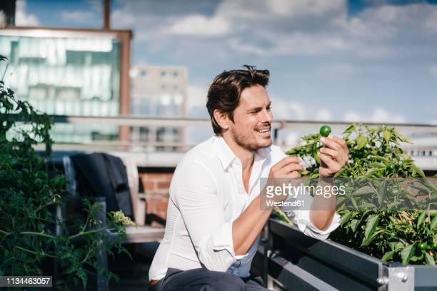 businessman cultivating vegetables in his urban rooftop garden - nur erwachsene stock-fotos und bilder