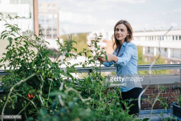 businesswoman cultivating vegetables in his urban rooftop garden - urban garden stock pictures, royalty-free photos & images