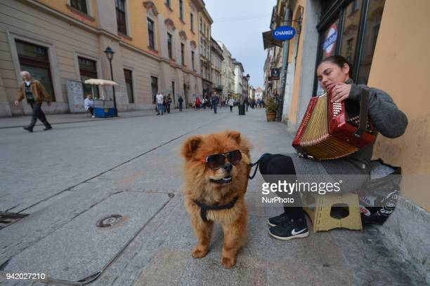 A busker with her dog seen on the top of Florianska Street in Krakow's Old Town On Wednesday April 4 in Krakow Poland