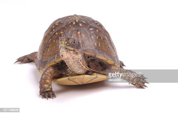 bust a move! - box turtle stock pictures, royalty-free photos & images
