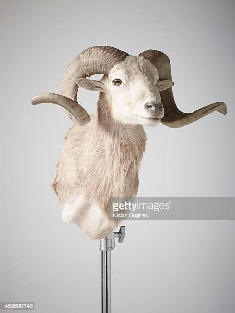 Bust of Ram