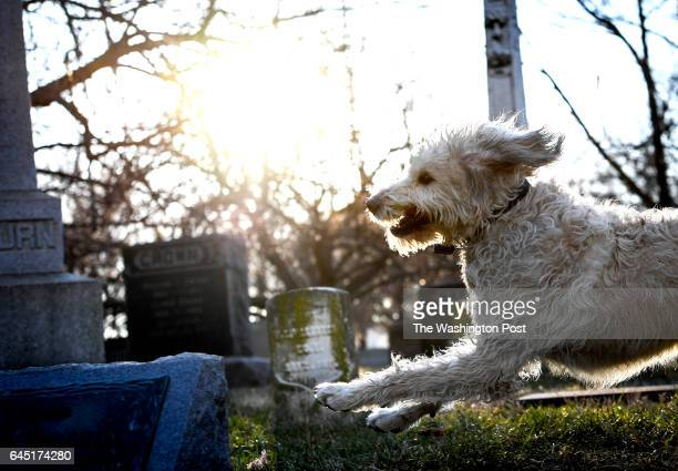 Buster a labradoodle takes a romp through Congressional Cemetery on Thursday February 16 2017 The cemetery has 400 dog owners on a wait list for the...