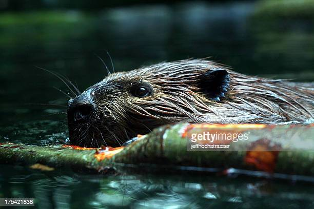 busy beaver - beaver stock pictures, royalty-free photos & images