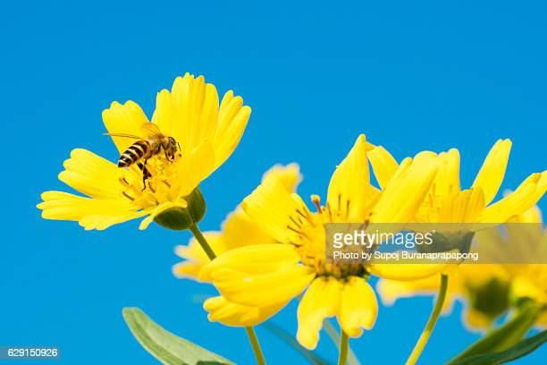 Busy bee find honey in yellow flowers garden