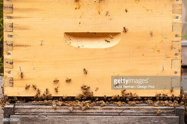 Busy honey bees in a Langstroth hive box