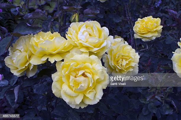 Butchart Gardens Mellow Yelow Rose USA 2000 on August 30 2014 in Victoria British Columbia Canada
