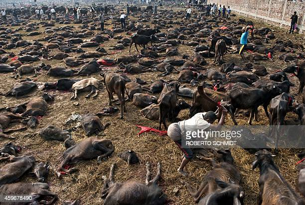 A butcher finishes off a buffalo on the ground with a second swing of his blade on the animal during a mass slaughter of buffaloes for the Gadhimai...