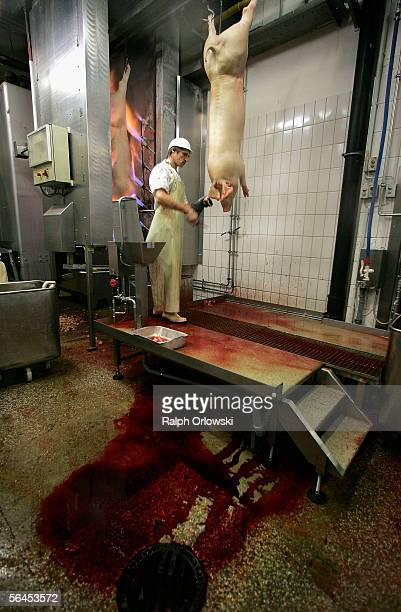 A butcher handles slaughtered pigs at a state of the art slaughterhouse on December 15 2005 in Mannheim Germany Despite the high standards of meat...