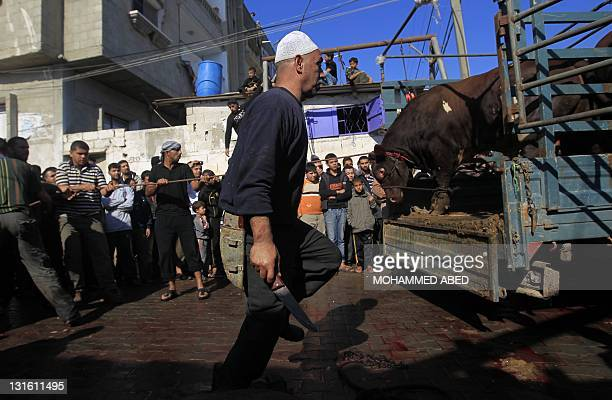 Butcher readies to slaughter a cow on the first day of Eid al-Adha in Rafah Refugee camp southern of Gaza Strip on November 6, 2011. Muslims...