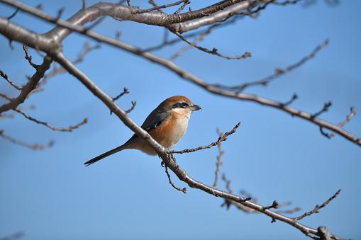 A Butcherbird - gettyimageskorea