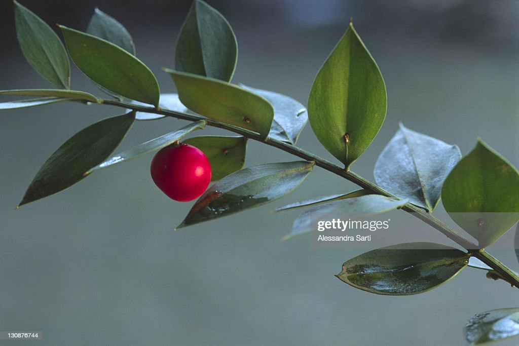 Butcher's broom (Ruscus aculeatus), South Tyrol, Italy, Europe : Stock Photo