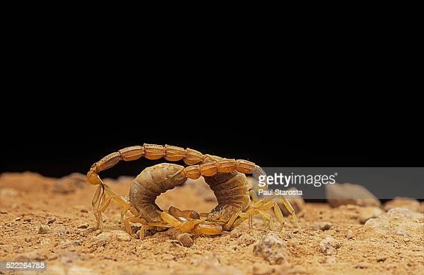 Buthus occitanus (common yellow scorpion, common European scorpion) - mating dance