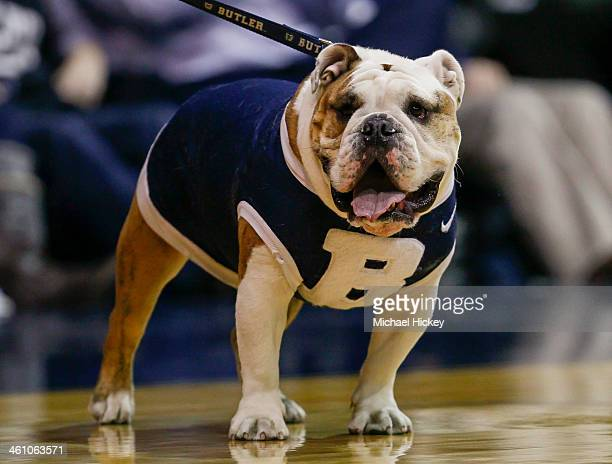 Butler Bulldogs mascot Blue III seen on the court prior to the game against the Villanova Wildcats at Hinkle Fieldhouse on December 31 2013 in...