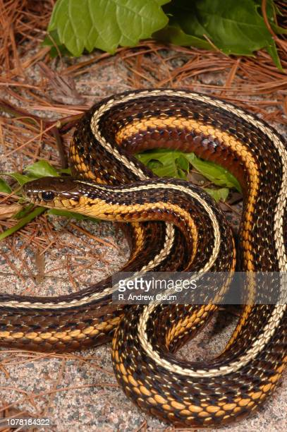butler's garter snake - garter snake stock pictures, royalty-free photos & images