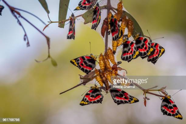 butteflies emerging from cocoon - cocoon stock pictures, royalty-free photos & images