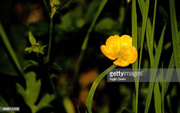 butter cup - nigel owen stock pictures, royalty-free photos & images