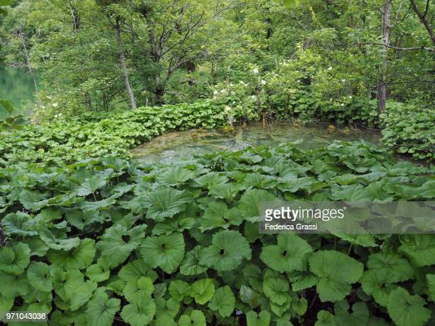 butterbur (petasites hybridus) - pianta acquatica foto e immagini stock