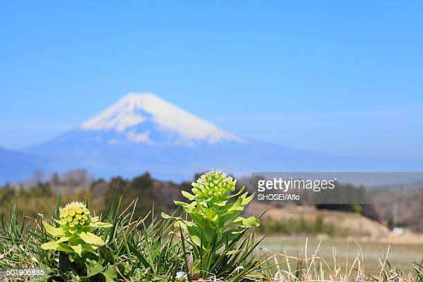 Butterbur Sprout and Mount Fuji in the background