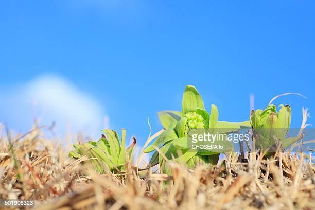 Butterbur Sprout