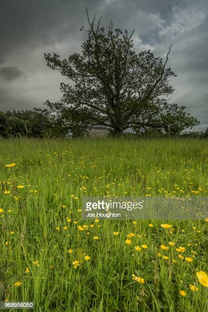 buttercup field with tree - buttercup stock pictures, royalty-free photos & images