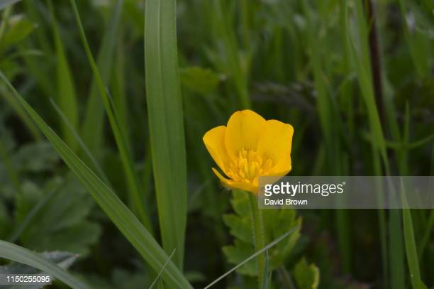 buttercup flower - buttercup stock pictures, royalty-free photos & images