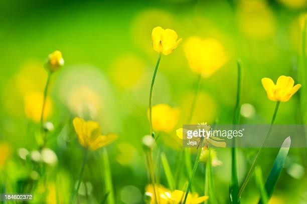 Hahnenfuß-Blumen in das Feld ein.