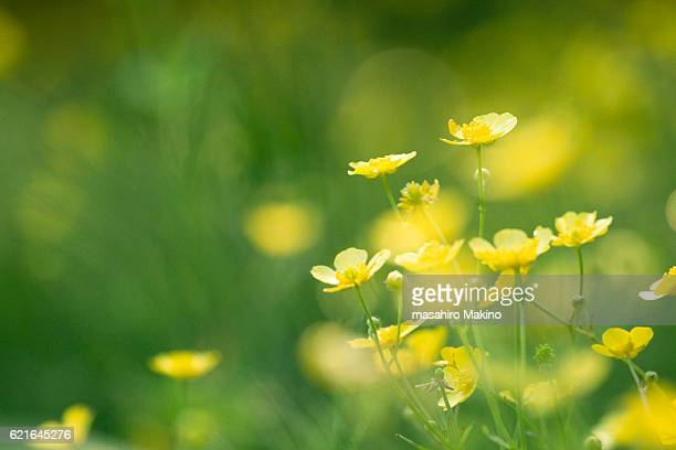 buttercup flowers - buttercup stock pictures, royalty-free photos & images