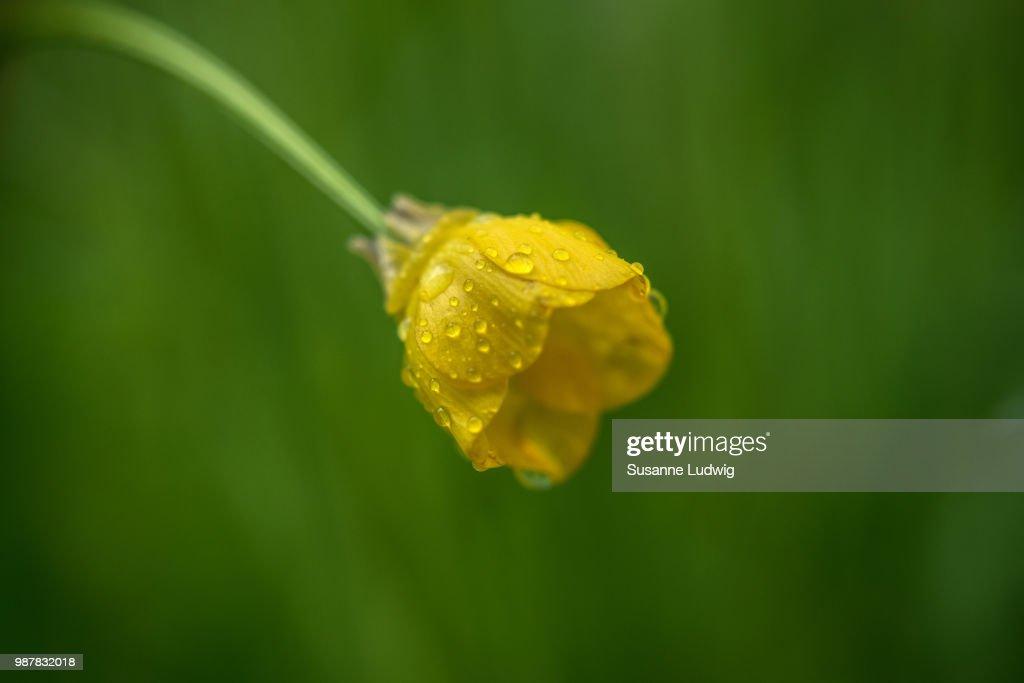 buttercup in rain : Foto de stock