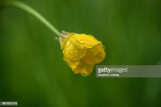 buttercup in rain