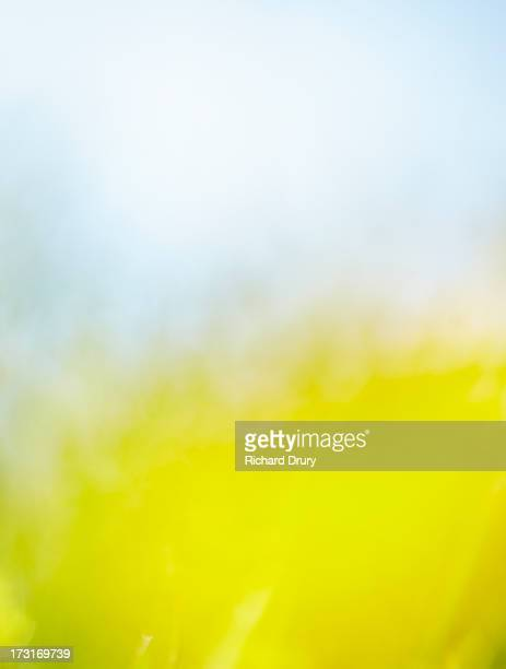 buttercup in summer meadow - richard drury stock pictures, royalty-free photos & images