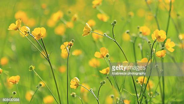 buttercup meadow - buttercup stock pictures, royalty-free photos & images