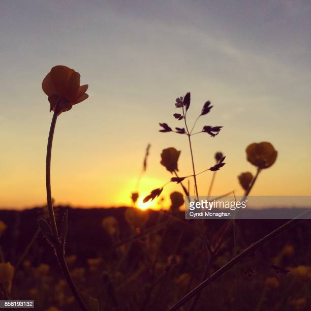 Golden Buttercups Stock Pictures, Royalty-free Photos & Images - Getty  Images
