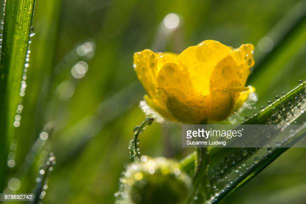 buttercup - susanne ludwig stock pictures, royalty-free photos & images