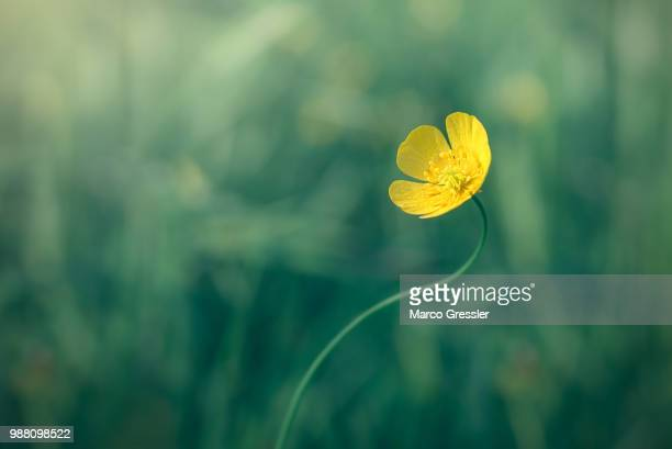 buttercup - buttercup stock pictures, royalty-free photos & images