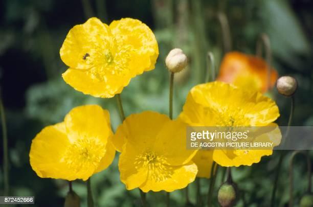 Buttercup Ranunculaceae