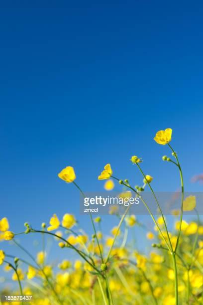 Buttercups contre ciel d'un bleu profond