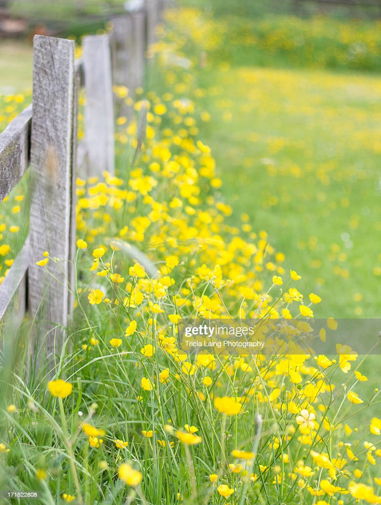 Buttercups and wooden fence. : Stock Photo