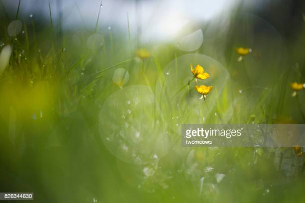 buttercups flowers in meadow. two flowers leaning close to each other. - soft focus stock pictures, royalty-free photos & images