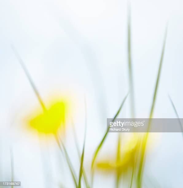 buttercups in summer meadow - richard drury stock pictures, royalty-free photos & images