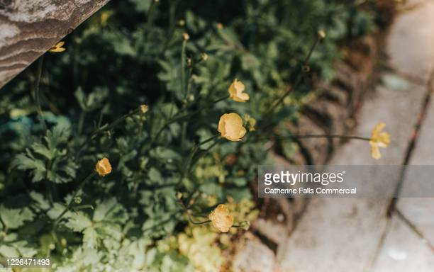 buttercups - lush stock pictures, royalty-free photos & images