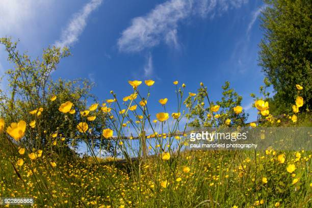 buttercups - buttercup stock pictures, royalty-free photos & images