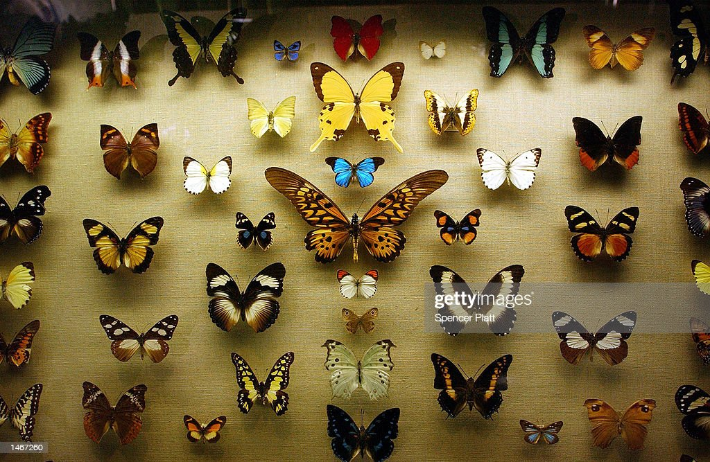 Beau Butterflies Are Displayed In A Case At A New Exhibition At The American  Museum Of Natural