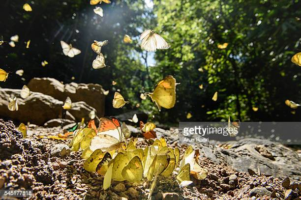 Butterflies are feeding mineral along the creek in rain forest.