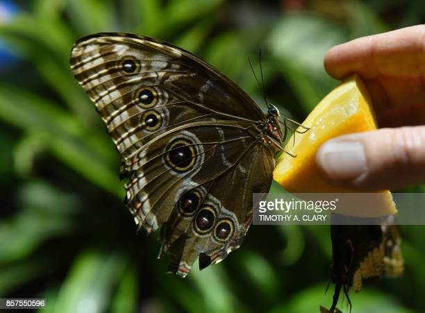 Butterflies are on display during a special preview of The Butterfly Conservatory Tropical Butterflies Alive in Winter at the American Museum of...