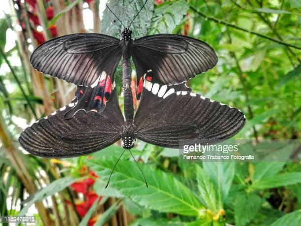 butterflies copulating - accouplement animal photos et images de collection