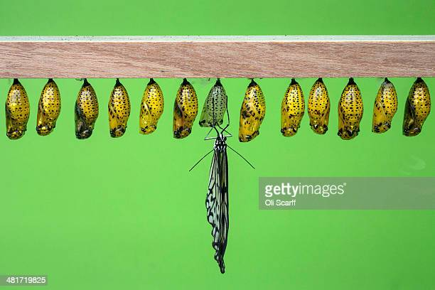 Butterflies emerge from their chrysalises in the Natural History Museum's 'Sensational Butterflies' outdoor butterfly house on March 31 2014 in...