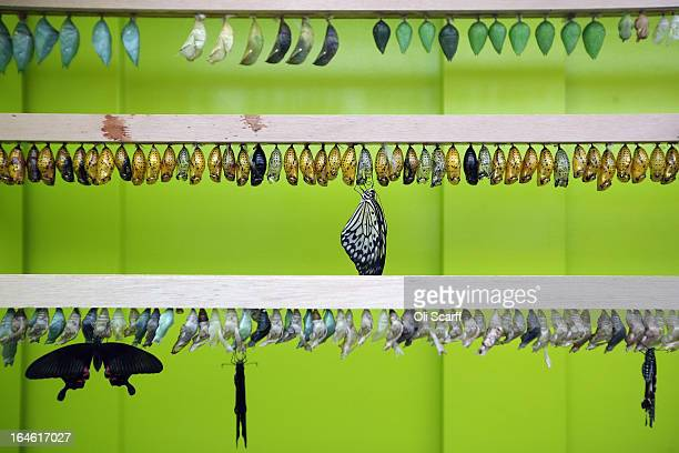 Butterflies emerge from their chrysalises in the 'Sensational Butterflies' exhibition at the Natural History Museum on March 25 2013 in London...