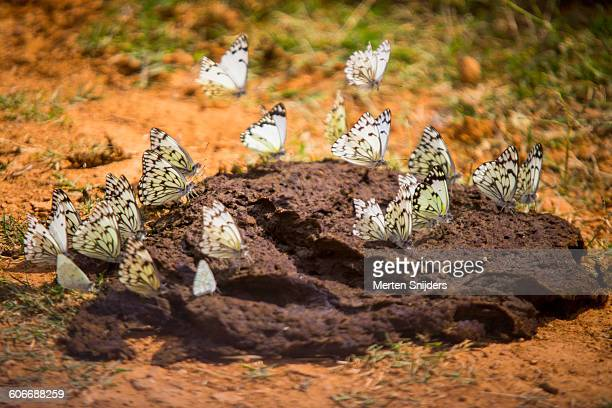 butterflies feasting on elephant dung - cacca foto e immagini stock